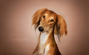 Picture look, each, dog, Saluki