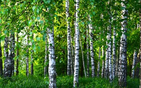 Picture summer, trees, birch, grove