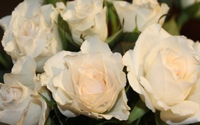 Picture roses, petals, white buds