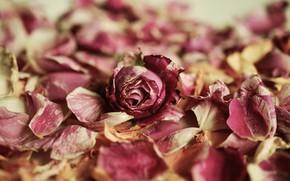 Picture flower, rose, petals, rosebud