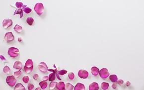 Picture flowers, petals, Orchid