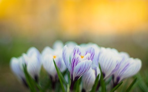 Picture nature, spring, petals, Krokus
