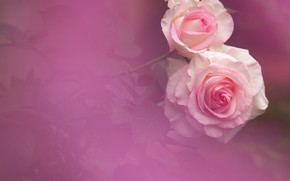 Wallpaper background, tenderness, roses, Duo, buds