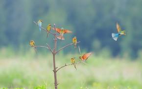 Picture birds, tree, bokeh, Bee-eaters