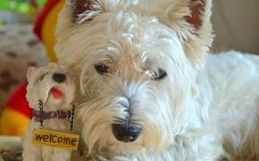 Wallpaper The West highland white Terrier, Dog, Dog