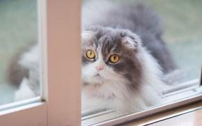 Picture cat, cat, look, background, portrait, light, window, muzzle, grey, yellow eyes, fluffy, Scottish, fold, smoky