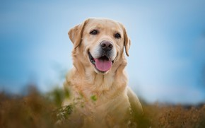 Wallpaper language, joy, Labrador Retriever, bokeh, face, dog, look, portrait