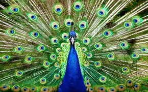 Picture nature, bird, feathers, tail, peacock, birds, fluffed