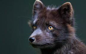 Picture look, portrait, muzzle, Fox, Fox, Arctic Fox