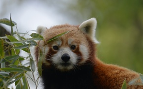 Picture look, muzzle, red Panda
