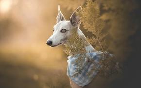 Picture face, portrait, dog, bandana, bokeh, Italian Greyhound, Greyhound dog