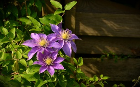 Picture leaves, flowers, wall, Board, plant, clematis, clematis