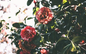 Picture leaves, flowers, green, Camellia