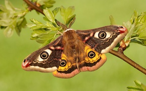 Picture macro, butterfly, small Emperor moth