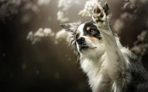 Picture paw, dog, bokeh, greeting, The border collie