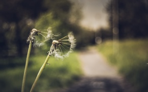 Picture nature, background, dandelions