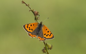 Picture macro, butterfly, megapesca spotted, Ducat spotted