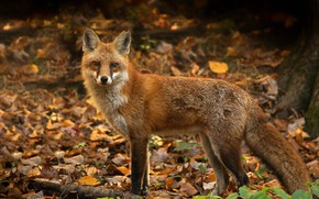 Picture autumn, leaves, nature, Fox, red, bokeh
