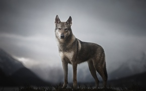 Picture mountains, dog, Morrow the Untamed Spirit
