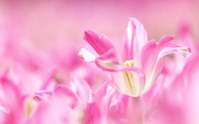 Picture macro, pink, tulips