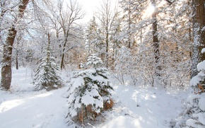 Picture winter, forest, snow, trees, tree, spruce
