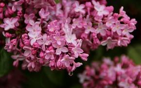Picture summer, drops, macro, joy, flowers, mood, pictures, Bush, beauty, branch, garden, flowering, lilac, June, flora, …