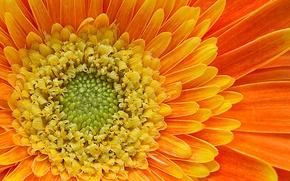 Picture orange, petals, gerbera