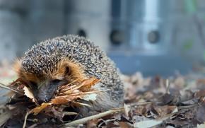 Picture leaves, nature, hedgehog, hedgehog