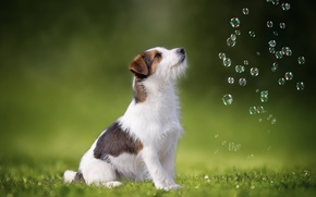 Wallpaper dog, bubbles, Jack Russell Terrier