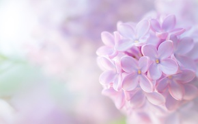 Picture macro, tenderness, lilac, inflorescence