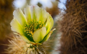 Picture flower, nature, cactus, Lepestki