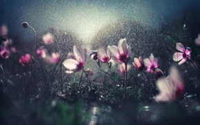Picture drops, flowers, glare, rain, bokeh, watering