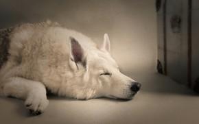 Picture sleep, dog, sleeping dog