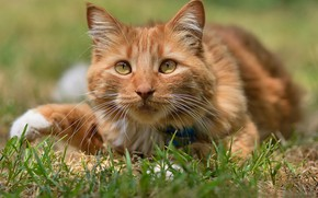 Picture cat, grass, look, muzzle, red