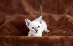 Picture cat, white, look, kitty, background, baby, fabric, lies, plaid, kitty, brown, Siamese, blue-eyed