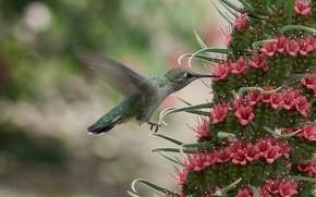 Picture flower, nectar, Hummingbird, bird, bokeh