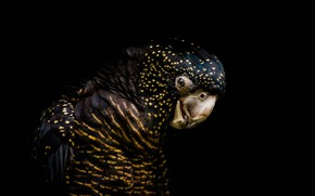 Picture bird, parrot, black background, the dark background, Funeral cockatoo banks, Red-tailed black cockatoo