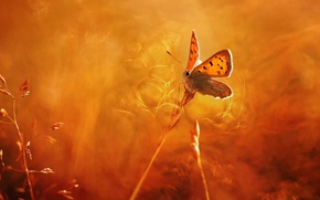 Picture macro, light, heat, background, butterfly, spikelets