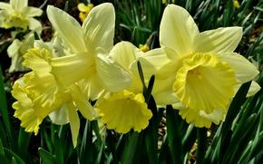 Picture macro, petals, yellow, daffodils