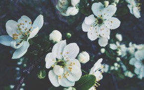 Picture flower, flowers, spring, the cherry blossoms