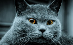 Picture cat, animals, British Shorthair, favorite pet
