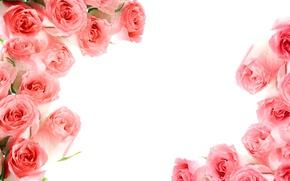 Wallpaper roses, pink, flowers, roses, pink roses