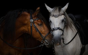 Picture grey, chestnut, horse, horses, face, bridle, pair, the dark background, harness