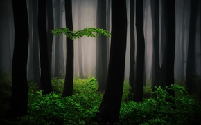Wallpaper nature, forest, fog