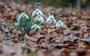 Wallpaper nature, leaves, snowdrops