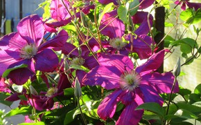 Picture flowers, clematis, spring 2018, Meduzanol ©