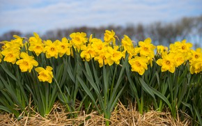 Picture field, nature, spring, Flowering, Daffodils