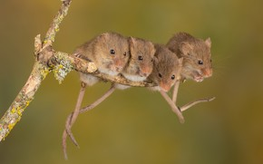 Picture sprig, mouse, field mouse