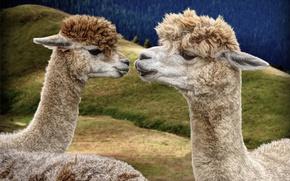 Picture forest, animals, eyes, nature, hills, portrait, Duo, beauty, muzzle, Lama, Lama, artiodactyls, trendy hairstyle, Lama-Lama …