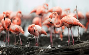 Picture birds, feathers, Flamingo